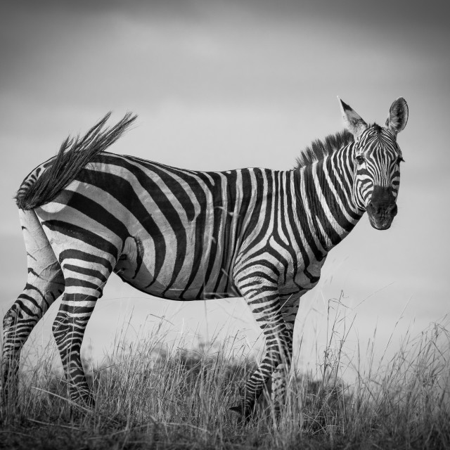 """Zebra tail flick"" stock image"