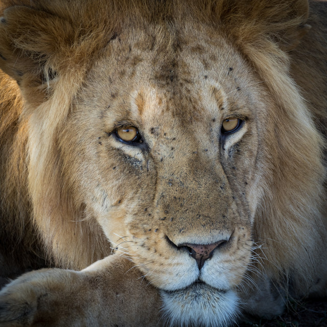 """Lion gaze"" stock image"