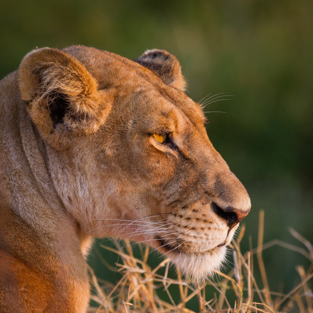 """Lioness gaze"" stock image"