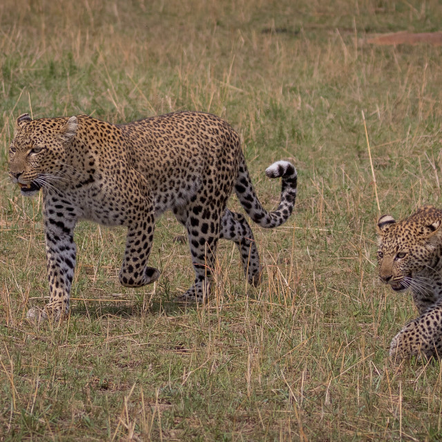 """""""Leopard mother and cub"""" stock image"""