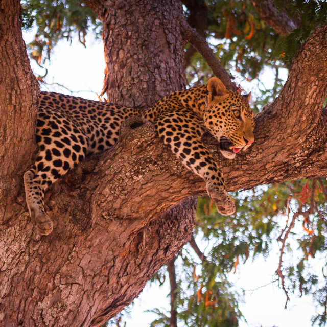 """""""Leopard hang out"""" stock image"""