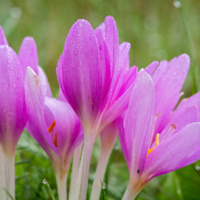"""""""Nice autumn flowers in the meadow, Colchicum"""" stock image"""