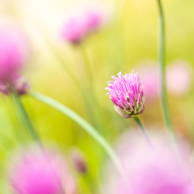 """Nice small pink bloom of chive herb with other ones in background"" stock image"