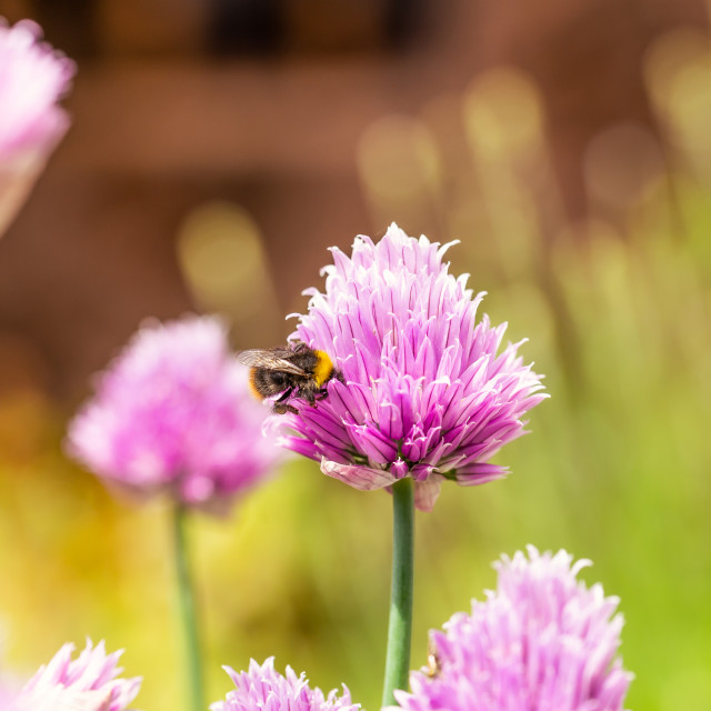"""Nice pink bloom of chive herb with little bumble-bee"" stock image"