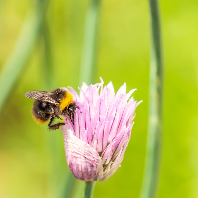 """Nice small pink bloom of chive herb with little bumble-bee"" stock image"