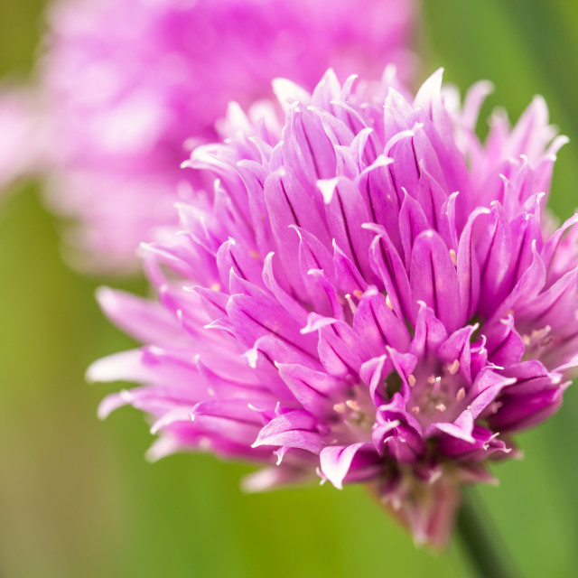"""Nice pink bloom of chive herb with other ones in background"" stock image"