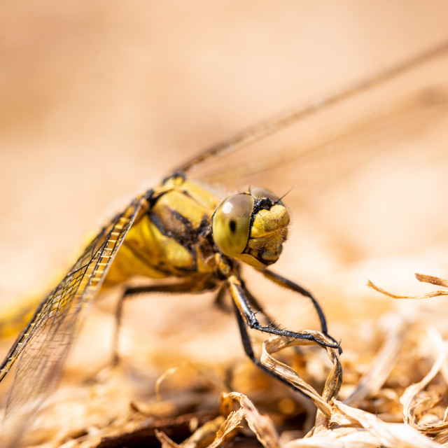 """Detail of yellow draginfly which is perched on dry grass"" stock image"