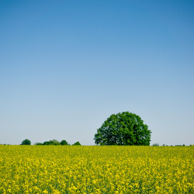 """Green round tree behind field full of rapeseed plants"" stock image"