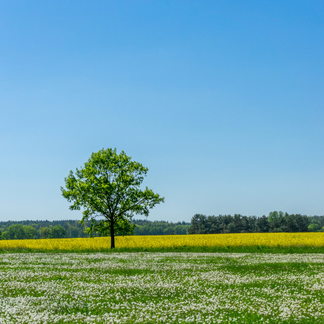 """Single tree between meadow full of faded dandelions and yellow rapeseed field"" stock image"