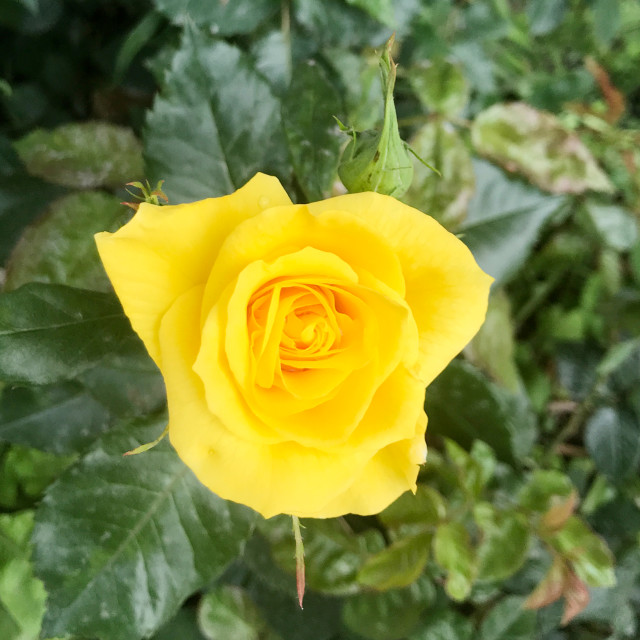 """Close-Up Of Yellow Rose Blooming Outdoors"" stock image"