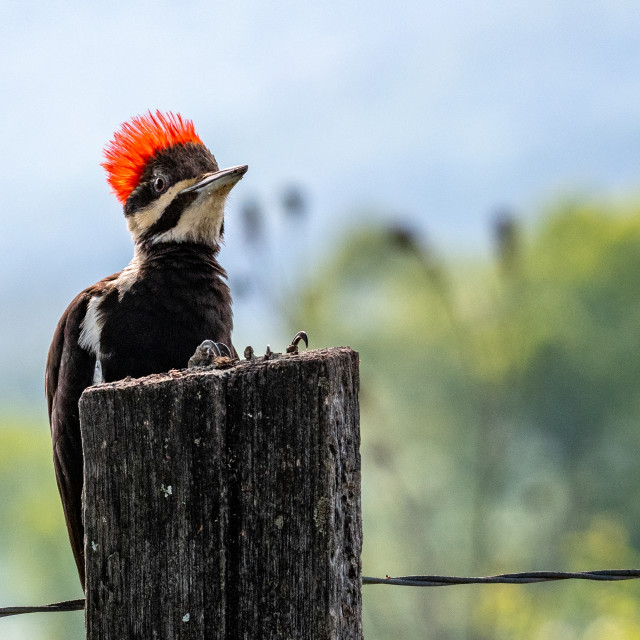 """Pileated Woodpecker"" stock image"