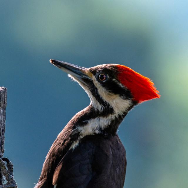 """Pileated Woodpecker"" stock image"