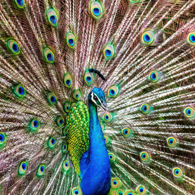 """Peacock Doing its Thing"" stock image"