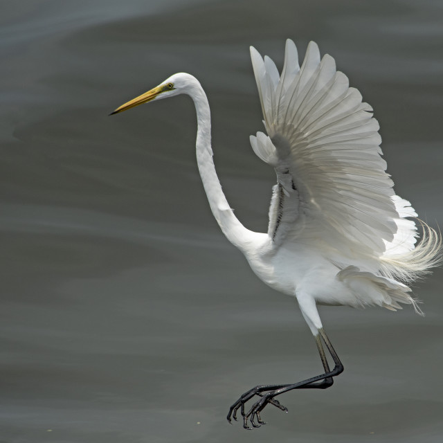 """Great White Egret 2018 (III)"" stock image"