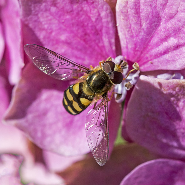 """Hoverfly on Pink"" stock image"