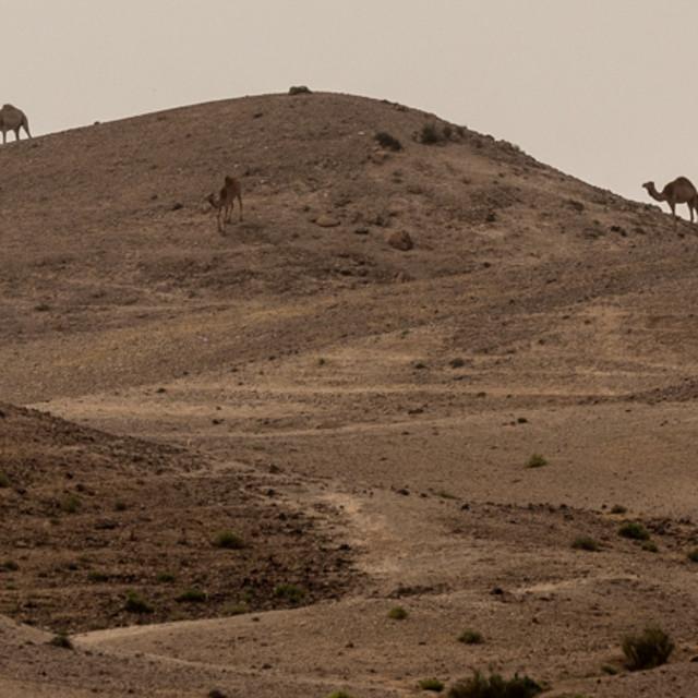 """Camels near Masada"" stock image"