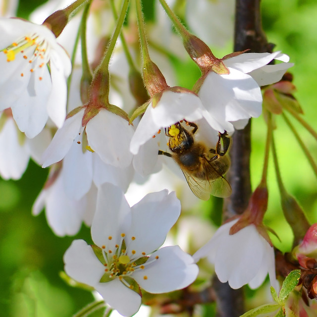 """A bee collecting pollen from a cherry blossom tree"" stock image"