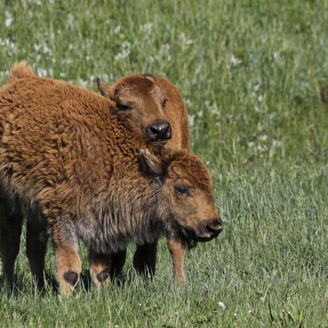 """""""Bison Buddies"""" stock image"""