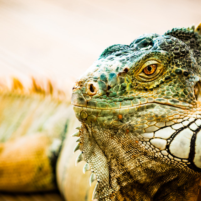 """Iguana close-up"" stock image"