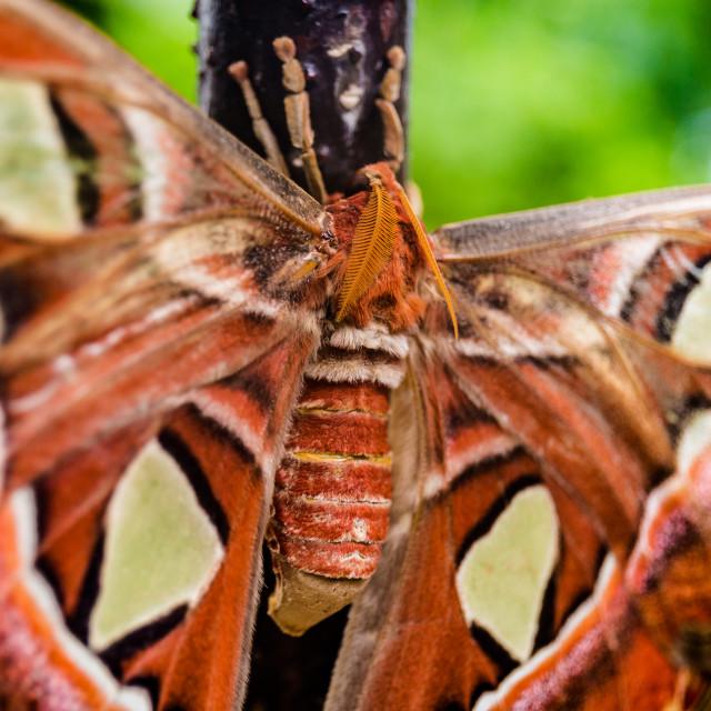 """Altas Moth"" stock image"