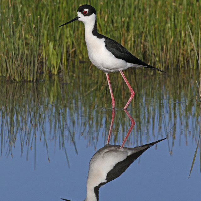 """Reflected Stilt"" stock image"