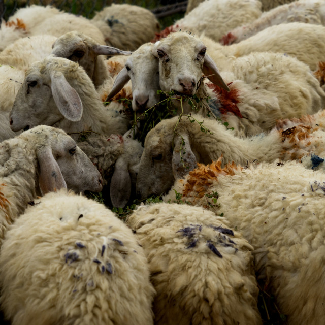 """Herd of sheeps"" stock image"