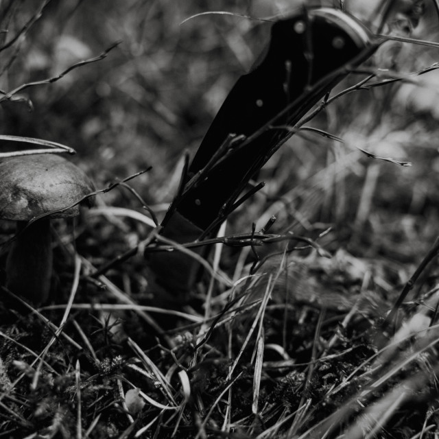 """Close up on bay bolete ( Imleria badia ) in forest with knife, black and white"" stock image"