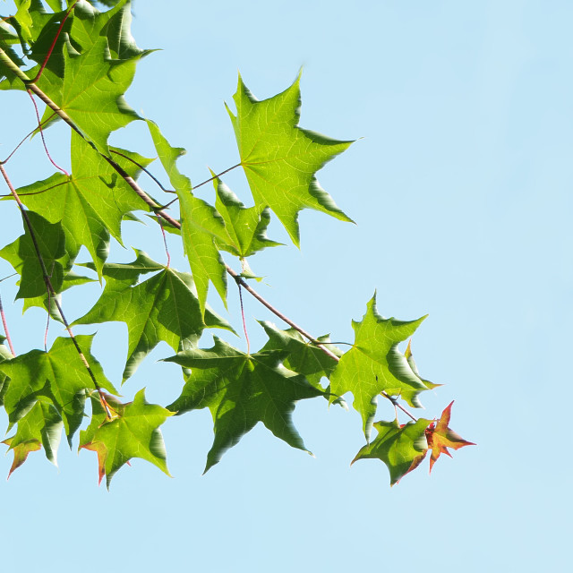 """Leaves on a tree"" stock image"