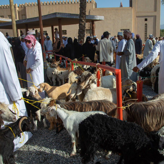 """Omani men selling and buying cattle in the market, Ad Dakhiliyah Region,..."" stock image"