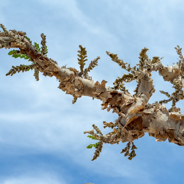 """Frankincense tree leaves, Dhofar Governorate, Wadi Dokah, Oman"" stock image"