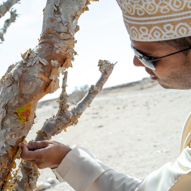 """Omani man collecting frankincense, Dhofar Governorate, Wadi Dokah, Oman"" stock image"