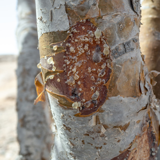 """Close-up of a frankincense tree, Dhofar Governorate, Wadi Dokah, Oman"" stock image"