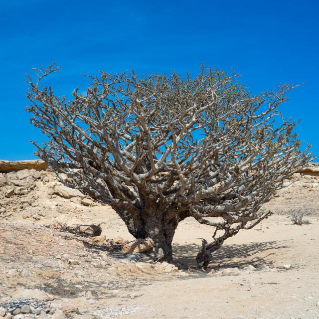 """Frankincense tree, Dhofar Governorate, Wadi Dokah, Oman"" stock image"