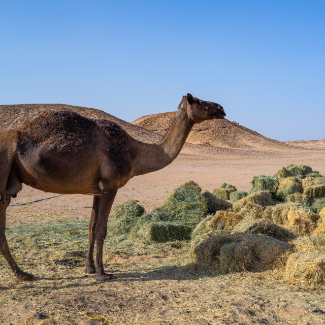 """Camel eating in a farm in the desert, Dhofar Governorate, Wadi Dokah, Oman"" stock image"