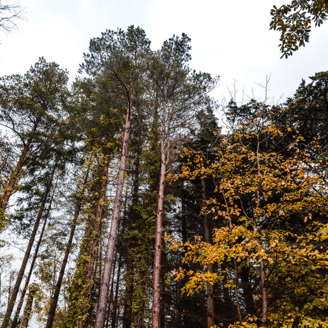 """""""Low angle view of gold colored trees in forest"""" stock image"""