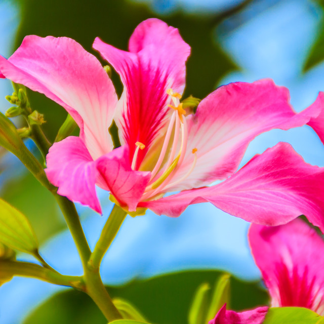"""""""Closed up pink flower Bauhinia purpurea or Butterfly Tree , Orchid Tree,..."""" stock image"""