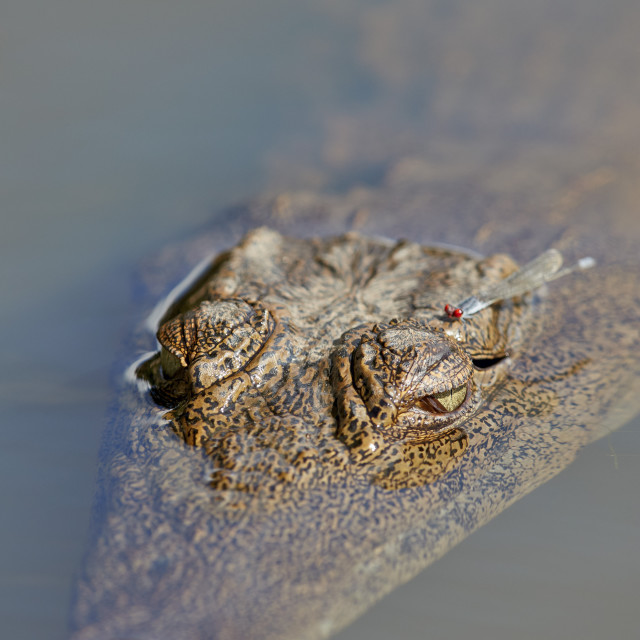 """Nile Crocodile (Crocodylus niloticus), Kruger National Park, South Africa"" stock image"