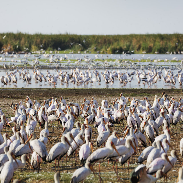 """East Africa, Tanzania, safari in Lake Manyara National Park, Yellow billed..."" stock image"