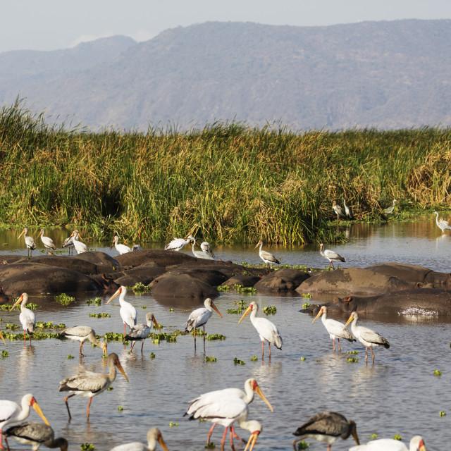 """East Africa, Tanzania, Lake Manyara NP, Yellow billed stork (Mycteria ibis)..."" stock image"
