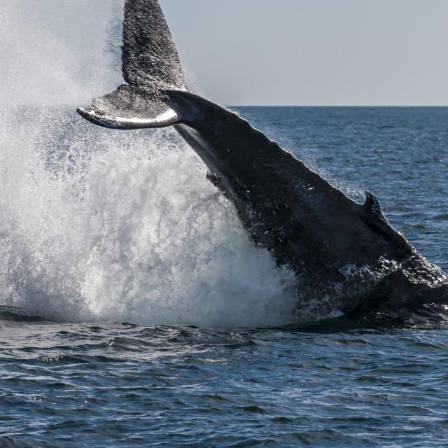 """Humpback whale (Megaptera novaeangliae) tail slapping, Resurrection Bay,..."" stock image"