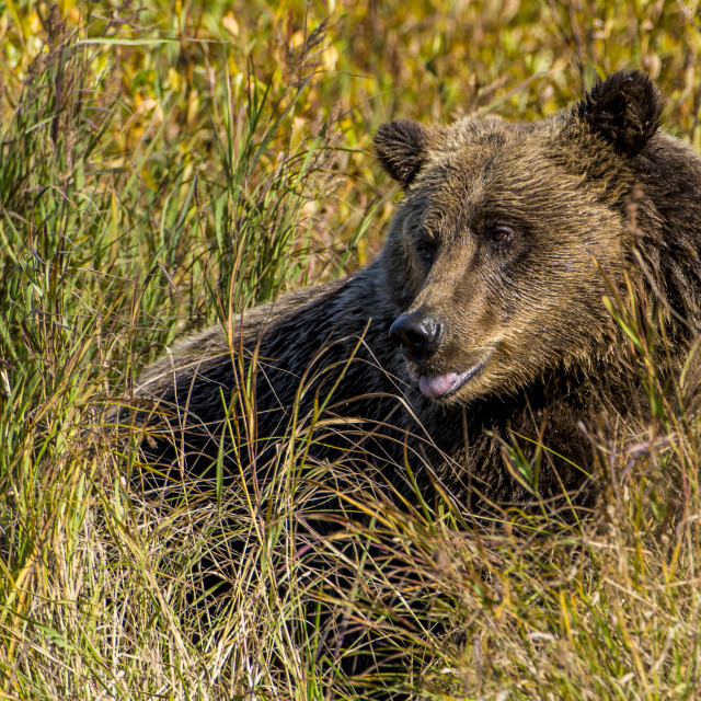"""""""Grizzly or brown bear (Ursus arctos) at Crescent Lake, Lake Clark National..."""" stock image"""