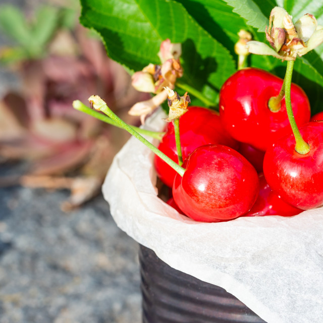 """Detail of few fresh red cherries in vintage tin on stone"" stock image"