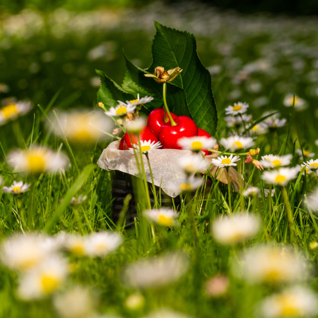 """Few red cherries in vintage tin among many daisies"" stock image"