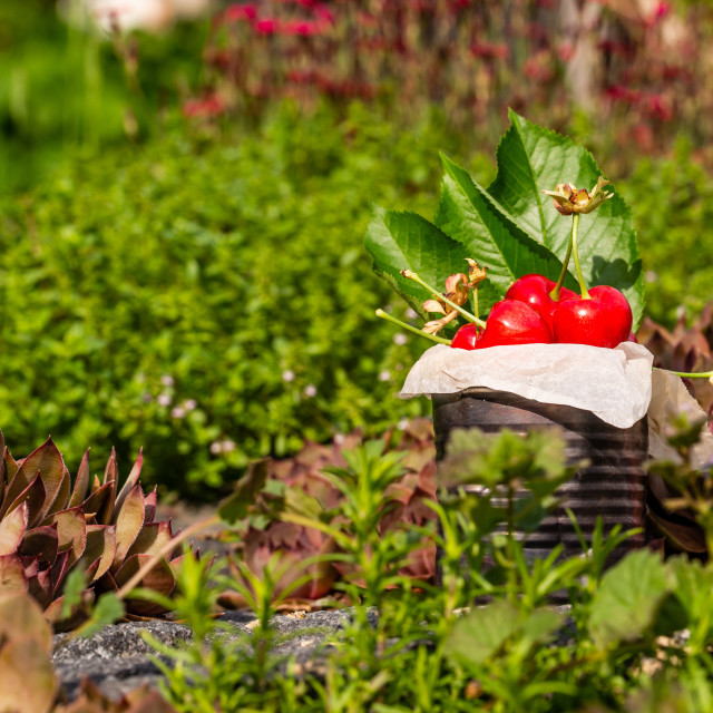 """Fresh red cherries in vintage tin on stone with small red plants in background"" stock image"