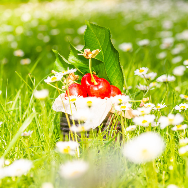 """Several fresh red cherries in vintage tin among many daisies"" stock image"