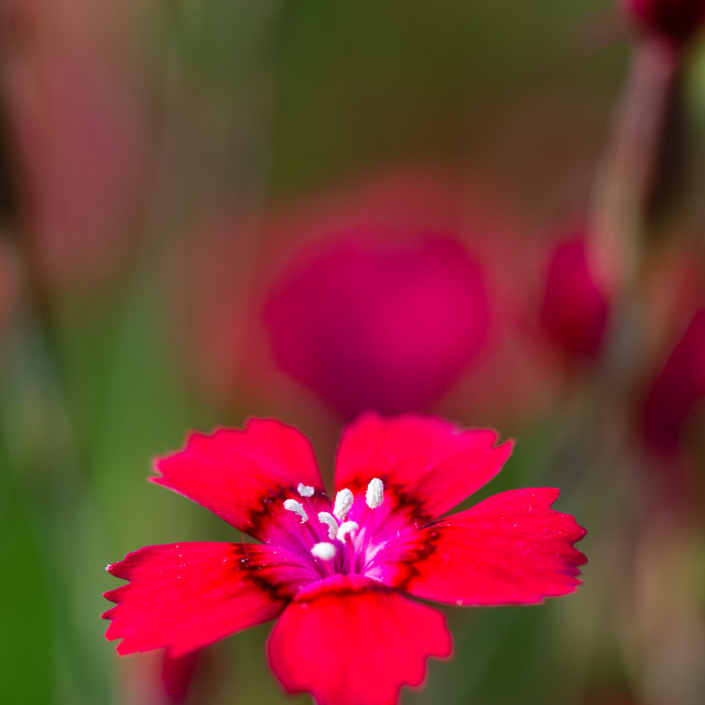 """Red bloom of small carnation flower among other flowers"" stock image"