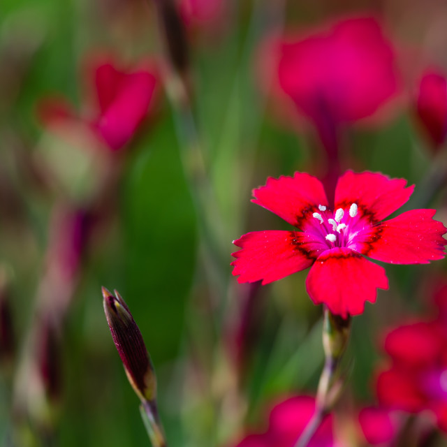 """Red bloom of small carnation flower among others"" stock image"