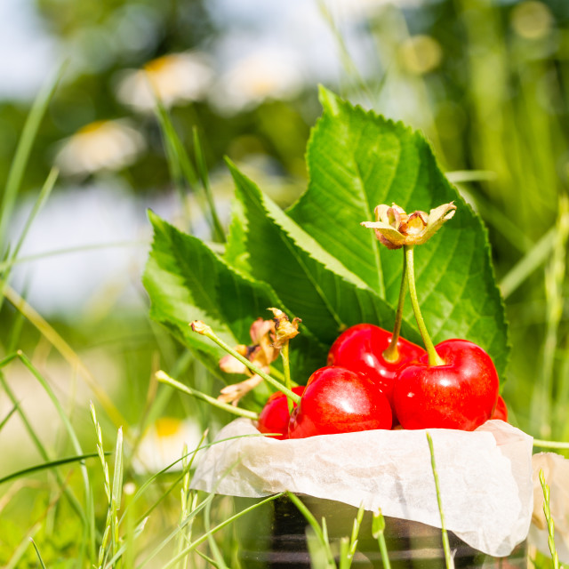 """Red cherries in vintage tin in high grass and with marguerite flowers in background"" stock image"