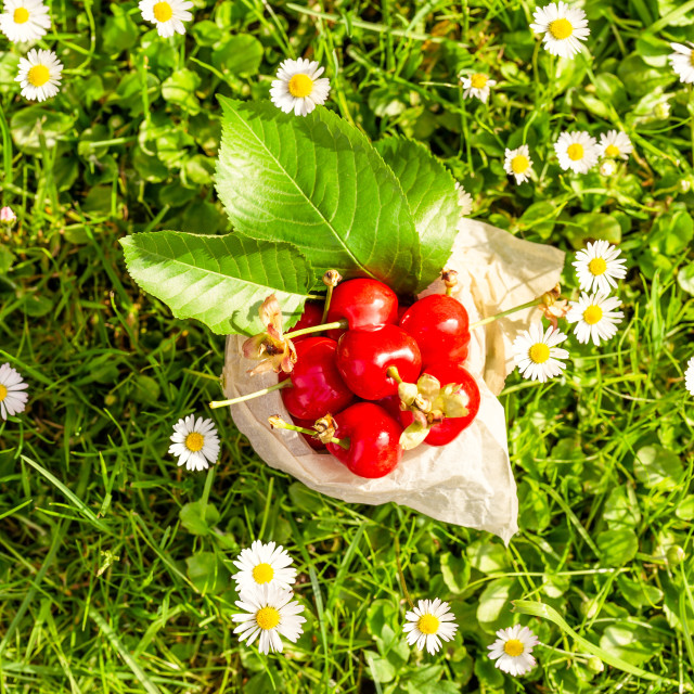 """Top view on red cherries in vintage tin among many daisies"" stock image"