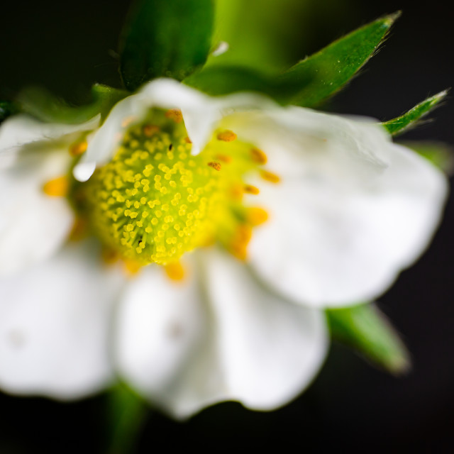 """""""Strawberry flower extreme macro high angle view"""" stock image"""